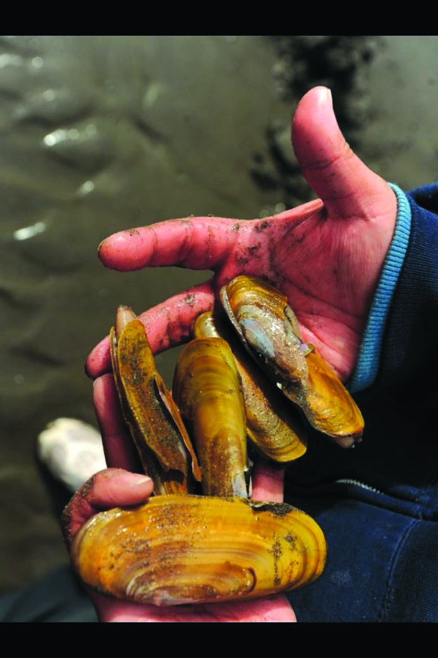 Razor clam digs at Copalis, Long Beach a go