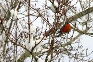 Singing songbird