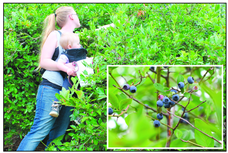 Blueberry pickers paradise