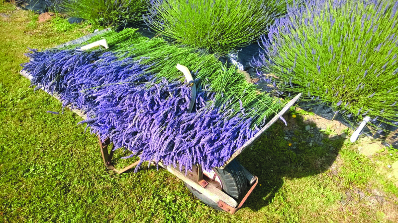 Lavender Festival July 2 and 3