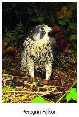 Popular birds of prey program visits Chehalis