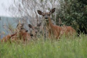 Within deershot