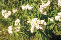 Pearly Everlasting to bloom until the snow falls
