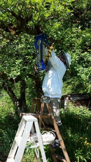Honeybee Swarming Season Yields New Hives for Local Beekeepers