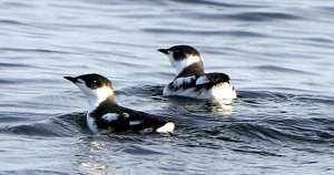 County to receive compensation for murrelet habitat