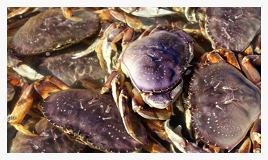 Sport crab  fishing reopens  in Willapa Bay