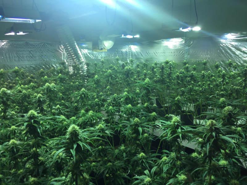 Illegal grow raids turn up big operation